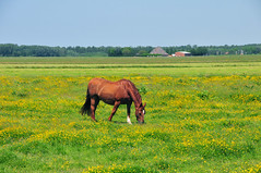 natuur tussen Amsterdam en Spaarndam, mei 2012 (wally nelemans) Tags: flowers horse holland groen nederland thenetherlands natuur mei bloemen 2012 paard nearamsterdam