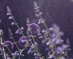 Through purple tulle (Wendy:) Tags: purple tulle diffuser diffused 70200mm alliums nepeta tp201