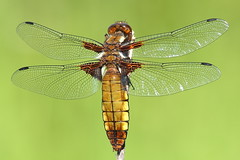 Female Broad-bodied Chaser (Libellula depressa) (michael.smith86) Tags: female dragonfly chaser libellula depressa broadbodied elitebugs