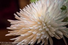 White Chrysanthemum Flower Arrangement (Peter Greenway) Tags: hill courthousegardens chrysanthemum englandmanor house fowers gardens hillcourthouse nationalgardenscheme whitechrysanthemum floral fleur botanic botanical nature bright petal bloom plant garden tropical closeup macro upclose