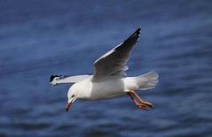 Silver Gull : About to land . . . (Clement Tang ** Busy **) Tags: inflight australia victoria avian birdwatcher stkildabeach portphillipbay bluesea silvergull larusnovaehollandiae autumnmorning concordians