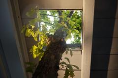 9/11 Memorial Tree (Sheena 2.0) Tags: nyc newyorkcity usa newyork america manhattan worldtradecenter wtc groundzero lowermanhattan 911memorial newworldtradecenter lmdc panynj portauthorityofnewyorkandnewjersey reflectingabsence nationalseptember11memorialmuseum lowermanhattandevelopmentcorporation halkanurseries sheena20 allrightsreservedsheenachi thenewworldtradecenter sheenachi