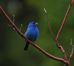 Indigo Bunting (prairiedog (in and out)) Tags: park city canada male bird nature birds fauna winnipeg wildlife assiniboine bunting englishgardens indigobunting supershot specanimal avianexcellence coth5 birdperfect