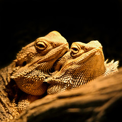 POGY (fabiogis50) Tags: nature animals animalia pogona reptiles vitticeps pogonavitticeps allofnatureswildlifelevel1 allofnatureswildlifelevel2 rememberthatmomentlevel4 rememberthatmomentlevel1 rememberthatmomentlevel2 rememberthatmomentlevel3 rememberthatmomentlevel7 rememberthatmomentlevel9 rememberthatmomentlevel5 rememberthatmomentlevel6 rememberthatmomentlevel8 rememberthatmomentlevel10 vigilantphotographersunite vpu2 vpu3 vpu4 vpu5 vpu6 vpu7 vpu8 vpu9 vpu10