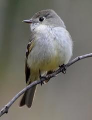 Hammond's Flycatcher (Schnapschot) Tags: bc similkameen northcascades hammondsflycatcher empidonaxhammondii pasaytenriver