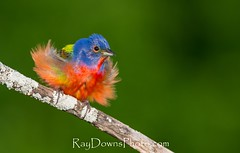 Painted Bunting (Passerina ciris) Male Italy, Texas-displaying (RayDownsPhoto.com) Tags: life blue red wild color bird nature colors up birds yellow fight nikon natural painted attack sunny ave angry mad fighting defensive seen rare displaying bunting defend puffed scarce dlsr d4 paintedbunting defending passerinaciris seldom protetive 600mmvr angrypaintedbunting