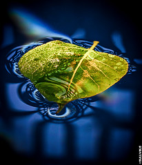 Playing with leaf,water and light - Macro test. (Gulli Vals) Tags: blue light shadow white macro reflection green water iceland leaf drops sland hvtur skuggi ljs suurland blr grnn grindverk brekkuskgur gullivals