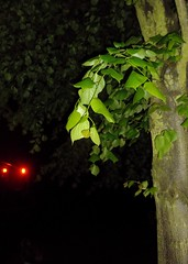(spratpics) Tags: england tree leaves night spooky teesside billingham northeastengland spookymagic teessideengland spookyartworkandphotographybypaulwalker