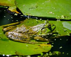 Frog went a-courtin' (Lea and Luna) Tags: green nature water zoo smithsonian dc washington nikon bokeh frog nationalzoo nikkor lilypad d5100 55300mmf45