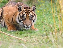 Sumatran Tiger 4 (Funky Foxy) Tags: tiger sumatrantiger pantheratigrissumatrae flickrbigcats endangeredbigcats
