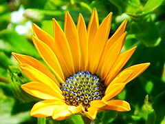 A Single Orange Daisy (careth@2012) Tags: daisy orangeflowers orangedaisy thegalaxy this1 abigfave flowersarebeautiful floraandfaunaoftheworld awesomeblossoms greatshotss showthebest ringexcellence dblringexcellence tplringexcellence itsallaboutflowers sunrays5 magicmomentsinyourlifelevel1