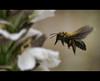 Para el acanto, un Abejorro. (manurubio83) Tags: flores desenfoque alas alhambra granada polen jardín abejorro acanto polinizar goldenbee fbdg