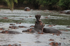 Hippo pool (jnyaroundtheworld) Tags: africa animals tanzania wildlife lion ngorongoro crater zebra giraffe massai serengeti animaux girafe afrique faune zbre tanzanie greatmigration wetseason manyaralake ndutu felins masa lacmanyara saisondespluies grandemigration