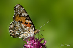 Vanessa cardui, female / Painted Lady / Baboka bodlkov, samice (Jaroslav Kaas) Tags: animalia animals arthropoda arthropods insecta insects lepidoptera butterfliesandmoths nymphalidae brushfoots canon original:filename=img18165jpg camera:make=canon camera:model=canoneos7d exif:make=canon exif:model=canoneos7d exif:exposure=11000sec exif:aperture=f28 exif:iso_speed=200 exif:flash=off exif:lens=canonef100mmf28lmacroisusm exif:tripod=off taxonomy:kingdom=animalia taxonomy:phylum=arthropoda taxonomy:class=insecta taxonomy:order=lepidoptera taxonomy:family=nymphalidae taxonomy:genus=vanessa taxonomy:species=cardui taxonomy:binomial=vanessacardui taxonomy:sex=female unlimitedinsectslevel1 unlimitedinsectslevel2 unlimitedinsectslevel3 unlimitedinsectslevel4