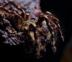 Poecilotheria sp. 'Lowland', juvie female (_papilio) Tags: macro canon spider arachnid tarantula nikkor papilio arthropod 6d theraphosidae mpe65mmmacro invertbreate