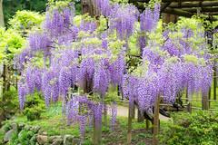 2016 Wisteria (shinichiro*) Tags: flower japan spring april nara crazyshin wisteria 2016   afsnikkor70200mmf28ged  nikond4s 20160427ds30780
