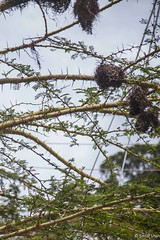 The Nests in the Thorn Tree - 13th March 2015 (princetontiger) Tags: street tree bird nest kenya streetphotography thorn acacia thorntree