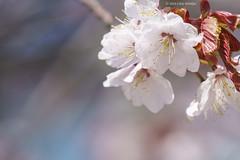 Soft Spring (Alpha 2008) Tags: blur nature japan cherry spring sapporo hokkaido dof blossom bokeh background sony   cherryblossom  sakura alpha