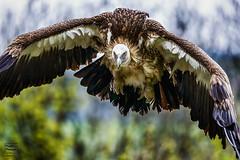 The flight of the vulture (Winwood79) Tags: bird nature flight vulture birdofprey geier flug greifvogel aasfresser