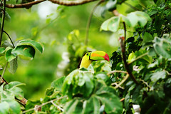 Raibow in green (tamblazquezhaik) Tags: trees red green nature colors leaves birds animals toucan rainbow rainforest colorful wildlife beak feathers foliage jungle