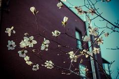 zero trois zero cinq (alecska) Tags: city flowers blue sky white canada tree buildings spring seasons quebec montreal bricks