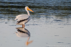 Pelican Reflections (fascinationwildlife) Tags: morning wild white bird nature animal america reflections island spring pond florida wildlife natur pelican national american pelikan waterfowl sanibel darling ding vogel refuge nwr