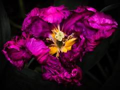 *Dolled Up* (cordula.mattioli) Tags: singapore tulip