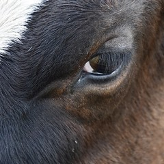 Lashes (Nige H (Thanks for 4.8m views)) Tags: eye nature animal cow lashes eyelashes