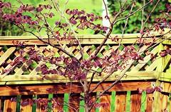 backyard fence & Redbud tree - HFF! (karma (Karen)) Tags: trees home topf25 backyard fences maryland baltimore redbud hff fencefridays