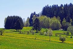 Mai-Wiesen nhe Bienstand (waidlerwiki) Tags: germany landscape bavaria meadow wiesen mai landschaft springtime frhling bayerischerwald bayerwald bavarianforest bienstand landkreisfreyunggrafenau stoswaldriedlhtte