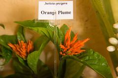 Orange Plume
