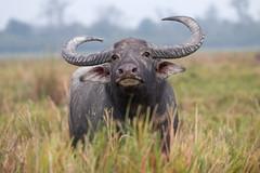 Bufalo Arni (ik_kil) Tags: india mammal assam bubalus kaziranganationalpark bubalusbubalis bufalodeagua enpeligro iucnendangered bubalusarnee wildwaterbuffalo wildasianbuffalo bufaloarni