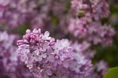 IMG_0060 (Teekanne2) Tags: pink summer plants flower tree green bush purple blossom outdoor sommer pflanzen lila lilac grn blume blte baum busch flieder drausen