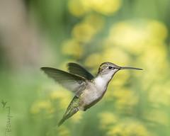 female hummingbird 5-21-16_045 (pmsswim) Tags: spring hummingbird may colibr rubythroatedhummingbird 2016 inthegarden yellowbackground femalerubythroatedhummingbird akathehumbirdjungle lastwinterskalecrop
