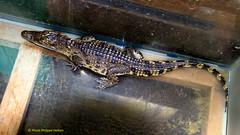 IMG_1291petit croco deviendra grand ........ (philippedaniele) Tags: cambodge eau crocodile siemreap bateau poisson navigation tonlesap pcheurs elevage maisonflottante batambang cambodgien elevagecroocodiles