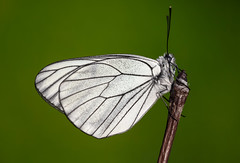 Aporia crataegi (Charaxes14) Tags: lighting shadow white black butterfly spring lepidoptera veins antenne kelebek pieridae aporia crataegi pierid gömörszőlős