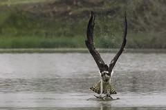 DSC02833 (Jose A. Ortiz) Tags: espaa naturaleza fauna sevilla aves aguilapescadora