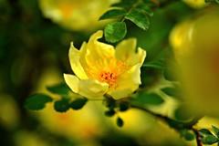 the first rose blooms in my garden (balu51) Tags: orange plant flower green rose yellow closeup garden evening abend bokeh mai gelb bloom 60mm grn garten 2016 blhen einfach sommeranfang staubfden beginningofsummer endofspring copyrightbybalu51 image21100 100xthe2016edition 100x2016 frhjahrsende