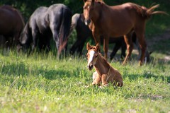 Cuteness Overload! (melissa_dawn) Tags: horse baby grass animal outdoors kentucky ky country filly foal