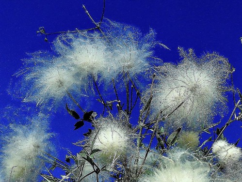 Flores pilosas/Hairy flowers, (versión 2016)