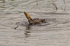 Fairburn Ings (John Charles photo) Tags: water duck mallard splash fairburn ings