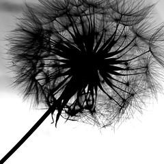 the last dandelion (Knarfs1) Tags: bw flower fleur dandelion blume blte lwenzahn pusteblume