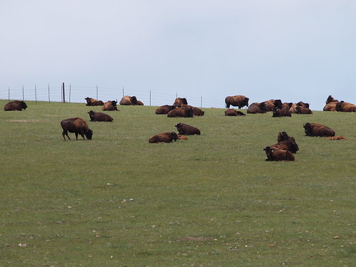 Bison Herd at Smith Ranch