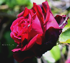 Rouge noir I (zuiko94) Tags: nikkor nikon nikontop nikkorlens nikond3200 nikonphotography nikonian nikonpic nikonitalia nikonlove nature nikonitaly nikonofficial nikoneurope nikonature natura nikonpotrait mynikon macro manualfilters rosa rose flowerporn flower