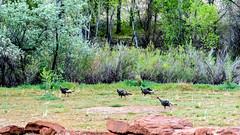 Wild Turkey's, Rockville, Utah (Roshine Photography) Tags: wildturkeys pentaxk5 2016utahtrip