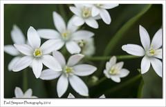 White Flowers (Paul Simpson Photography) Tags: flowers flower nature petals naturalworld whiteflowers naturephotos photosof imageof flowerphotography photoof imagesof sonya77 paulsimpsonphotography june2016