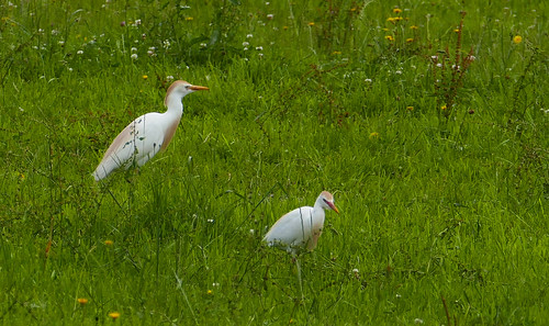Bubulcus ibis, Garde-boeufs  _3