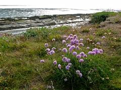 Sea Pink (John of Wirral) Tags: hilbre island dee estuary irishsea wirral coast liverpoolbay armeriamaritima seathrift seapink