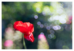 Poppy love (leo.roos) Tags: poppy flare a7 klaproos papaver darosa composerpro leoroos lensbabysweetoptic3525
