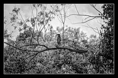 Heron So Far Desaturated (brev99) Tags: blackandwhite heron branch ngc border brush marsh colorefex d7100 oxleynaturecenter blackkey ononesoftware nikviveza topazdenoise tamron70300vc dxofilmpack5 perfecteffects10
